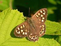 Photo of Speckled Wood - Brown species