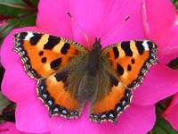 Photo of Small Tortoiseshell - Multi-coloured species